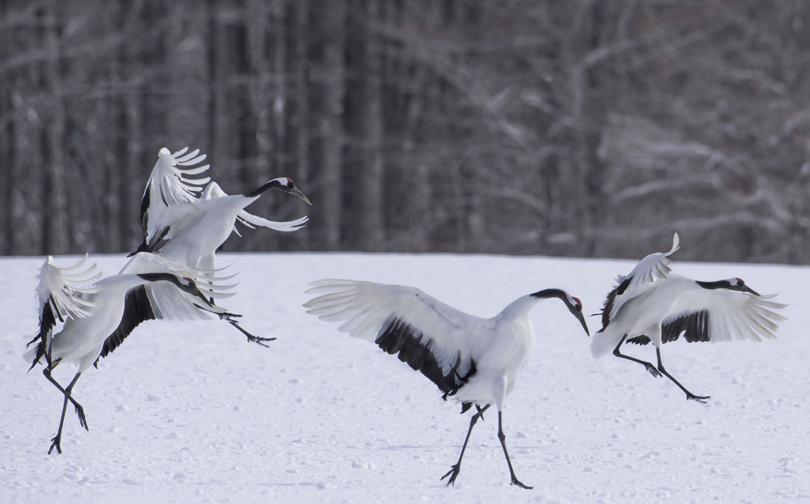Red Crowned Cranes. Akan International Crane Center. Kushiro,Japan.