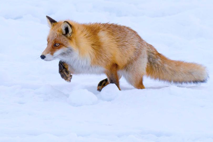 Fox Hunting. Shibetsu, Japan