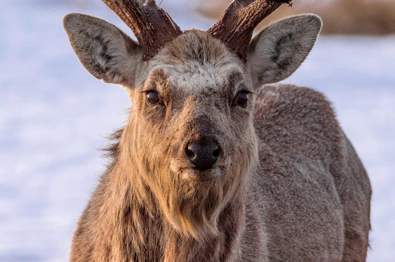 Sika Deer. Hokkaido, Japan