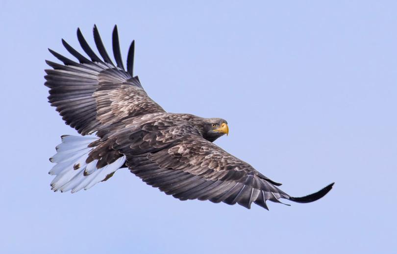 White Tailed Eagle. Hokkaido, Japan