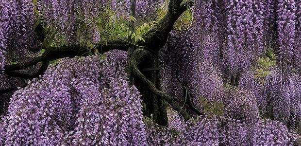 Wisteria Longwood Gardens