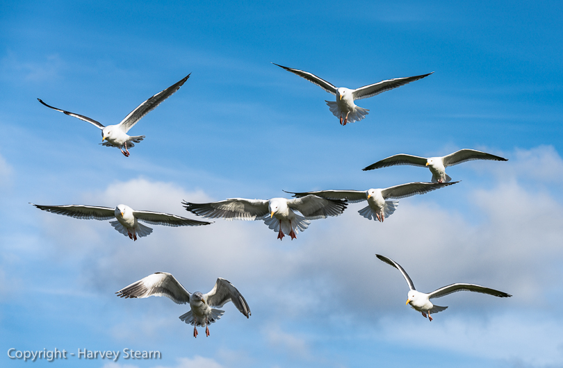 """Gulls in Formation"", Cannon Beach, OR"