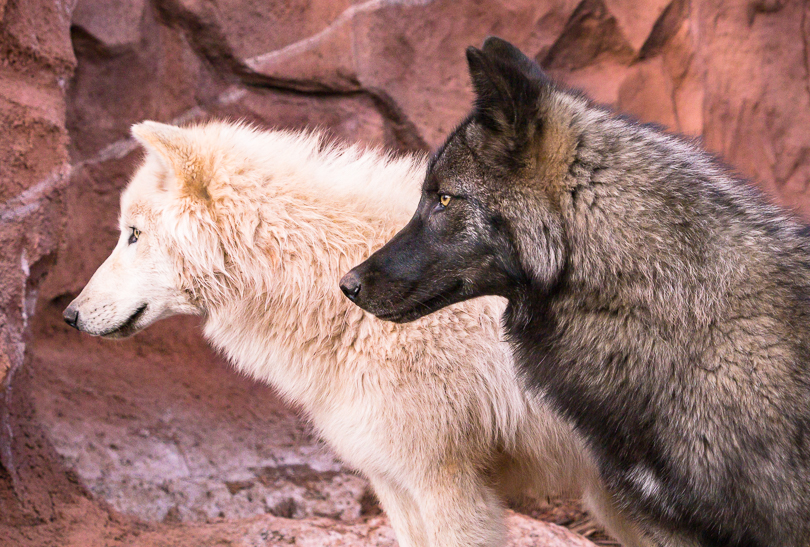 """Two Arctic Wolves, Profiles in Black & White"""