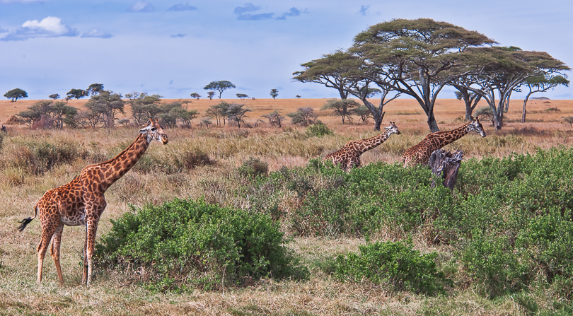 """Giraffes of the Serengeti, Tanzania"""