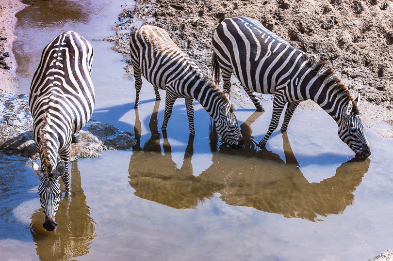 """Three Thirsty Zebra in the Serengeti"""