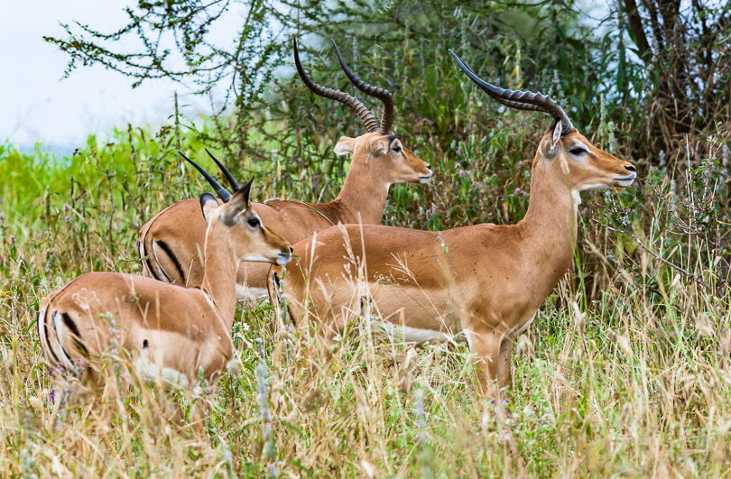 """Three Impala, Two Mature Males and a Juvenile"""