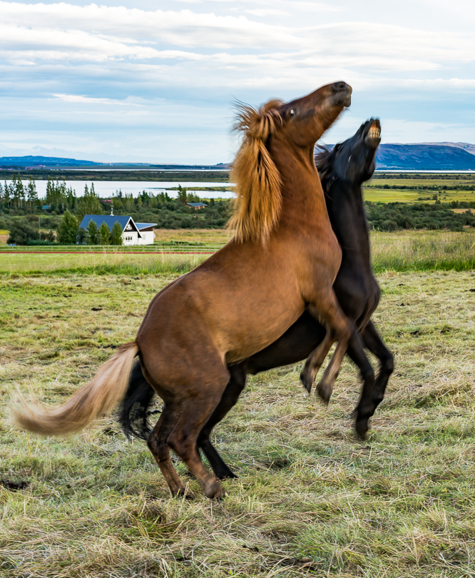 """Just Horsing Around"" West Coast of Iceland"