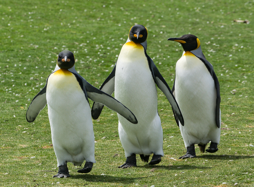 """Penguin Chorus Line, Falkland Islands"""