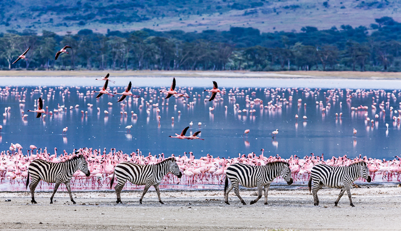 """Zebra Parade"", Lake Magadi, Ngorongoro NP"