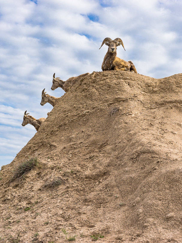 """On High Alert"", Desert Bighorn Sheep, SD"