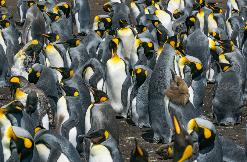 """King Penguins – The Next Generation"", Falkland Islands"