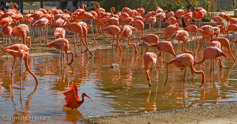 """Why Don't I Look Like Them?"", Red Ibis & Flamingoes"