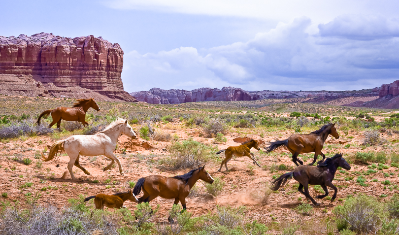 """Running Wild"",  Horses in the High Utah Desert"