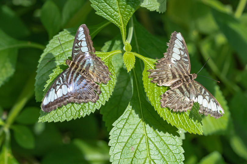 """Resting butterflies create mirror image effect"""