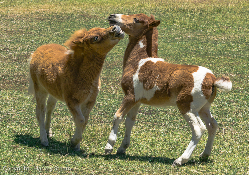"""Young Miniature Horses at Play, Santa Inez Valley, CA"""